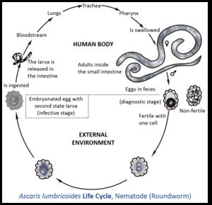 ce viermi trăiesc în capul meu paraziții sunt organisme