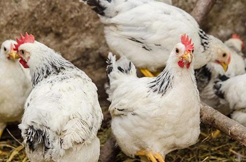 Digestia găinilor. Lucruri esențiale pentru sănătatea păsărilor | Agroland