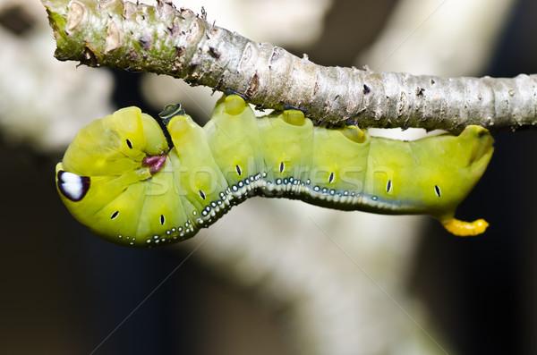 vierme verde