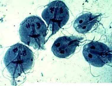 parazita giardia cod ljudi