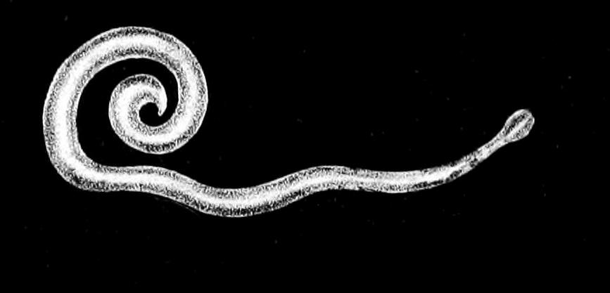 enterobius vermicularis oxyuris vermicularis