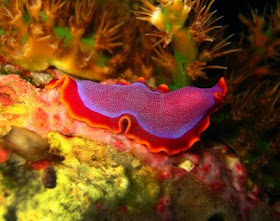 forme larvare de platyhelminthes