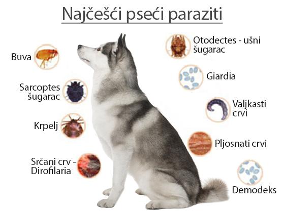 gliste u izmetu psa)
