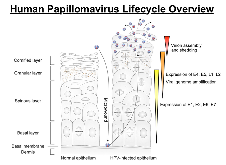 human papillomavirus infection life cycle