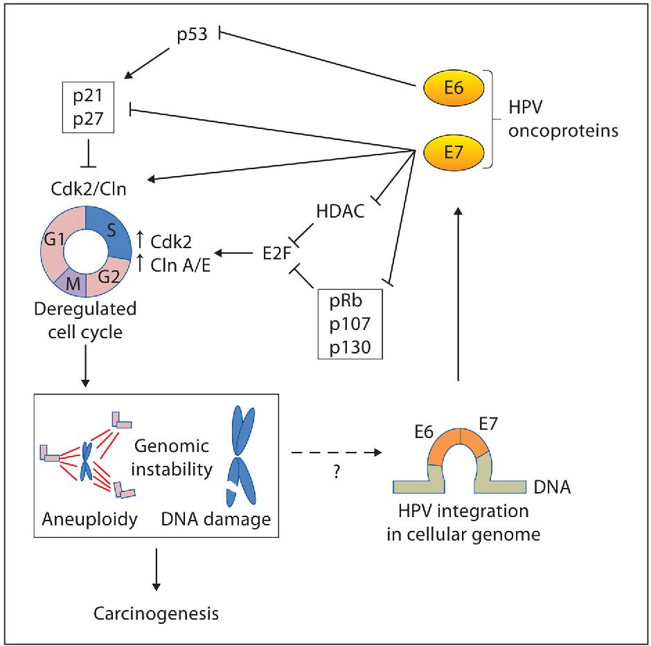 human papillomavirus mode of action)