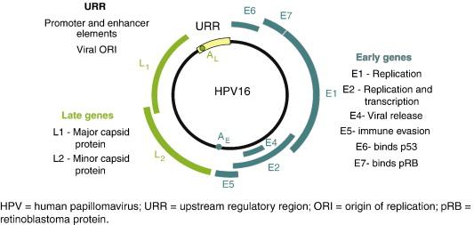 human papillomavirus pathophysiology