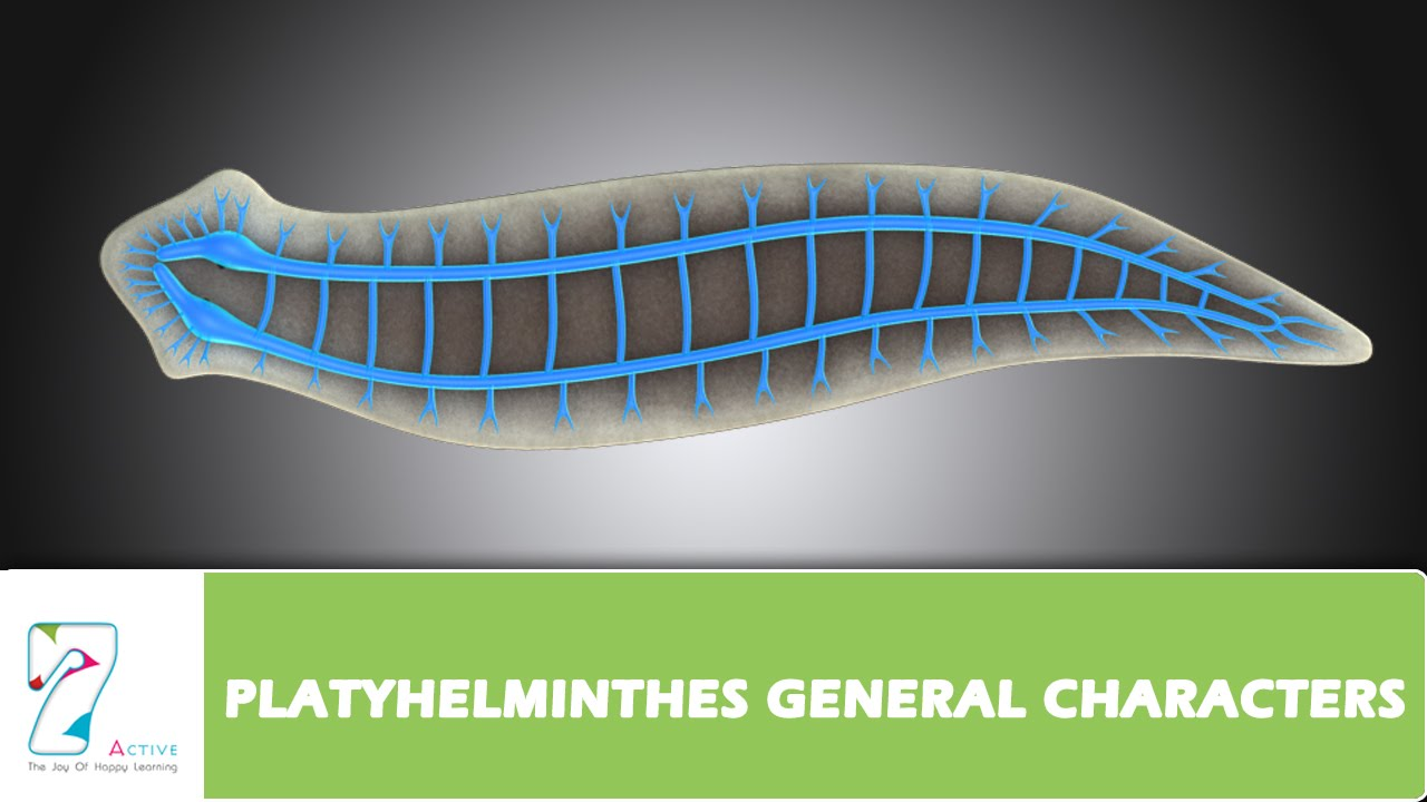 manhat filum platyhelminthes)