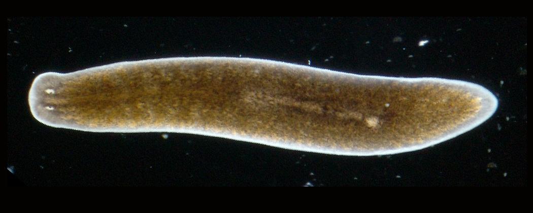 Planaria albă: tipul de viermi, structura, stilul de viață