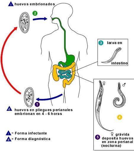 Parasitos oxiuros tratamiento naturales - Добро пожаловать в наш блог!
