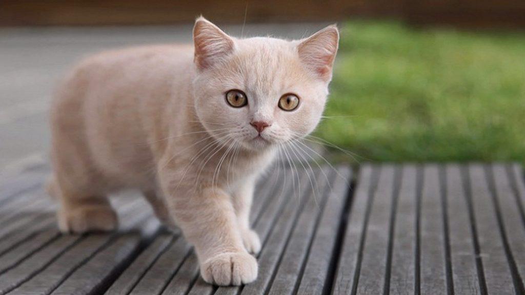 oxiuros gatos