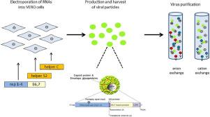 papillomavirus recombinant vaccine streptolysine o toxine