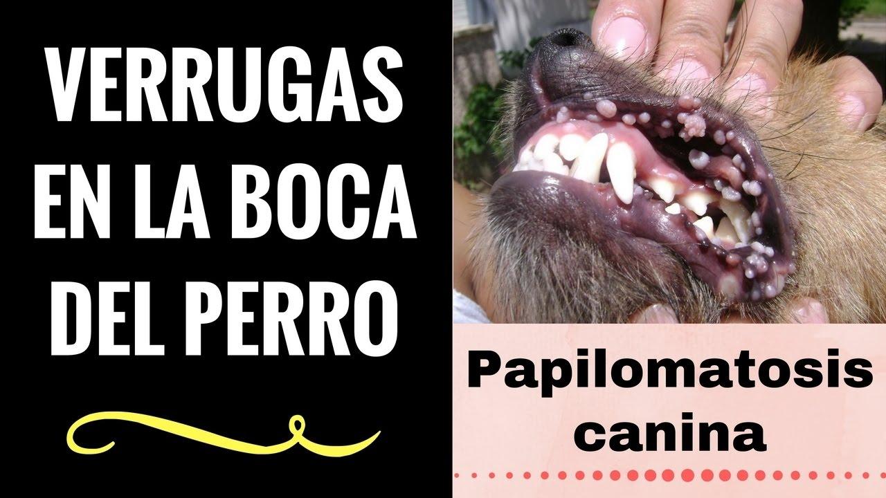 papiloma virus en perros tratamiento