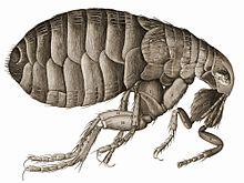 paraziți de insecte asociați)