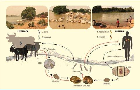 Schistosomiasis zoonosis, Свежие комментарии