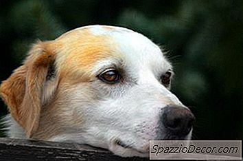 Giardia la câini