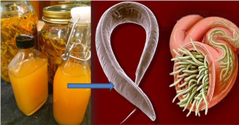 tratamento com alho para oxiurus