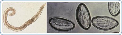 treatment of oxyuris worm