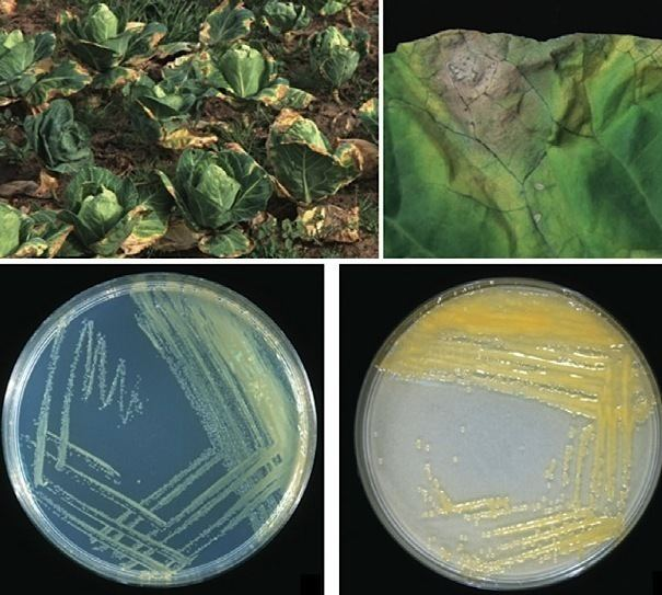 xanthomonas bacteria)