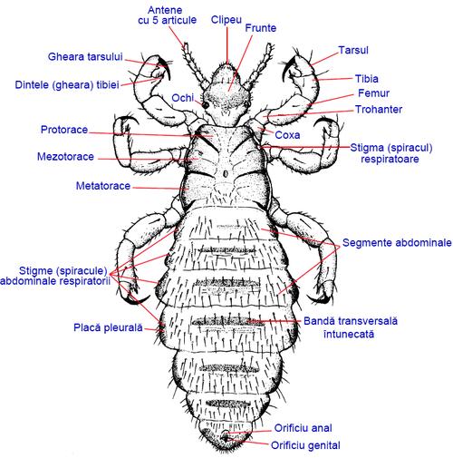 paraziti malofage