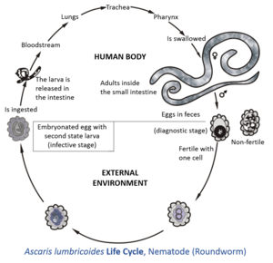 ciclul de viață al paraziților plasmodici)