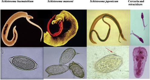 schistosomiasis worm)
