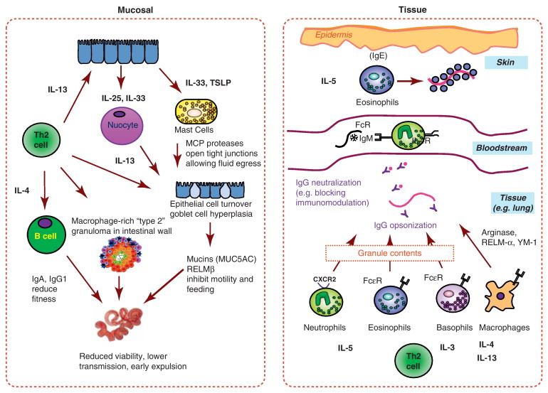 helminth immune cell