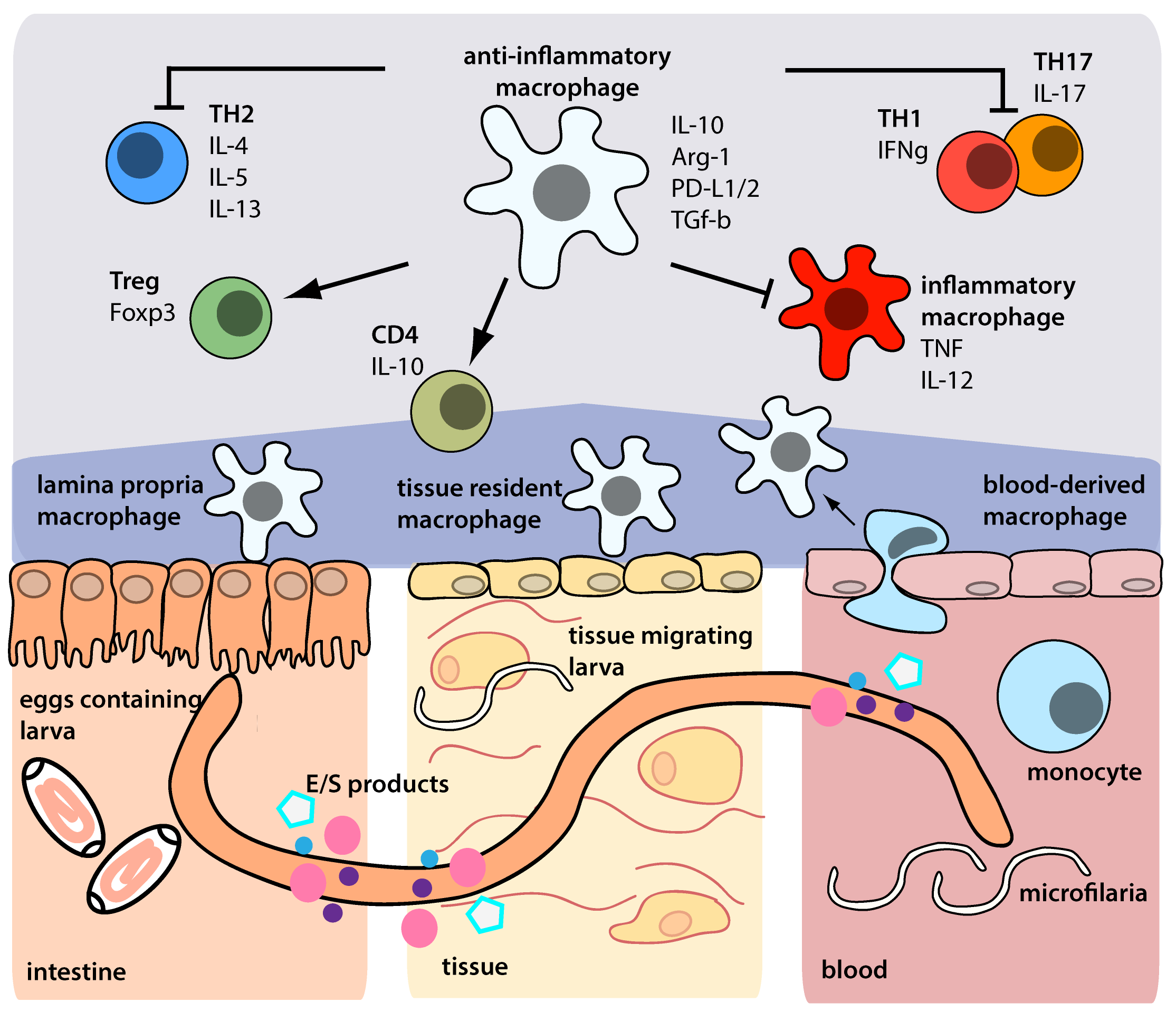 helminth therapy in inflammatory bowel diseases)