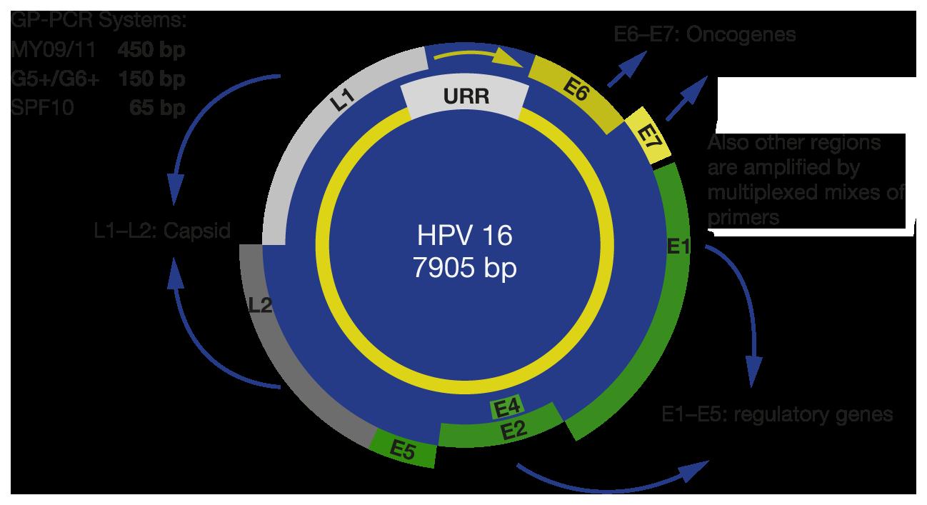 hpv e cancer de colo medicamente eficiente pentru viermi la adulți