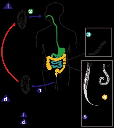 ciclul nematodelor umane)