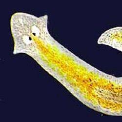 specii parazite de platyhelminthes)