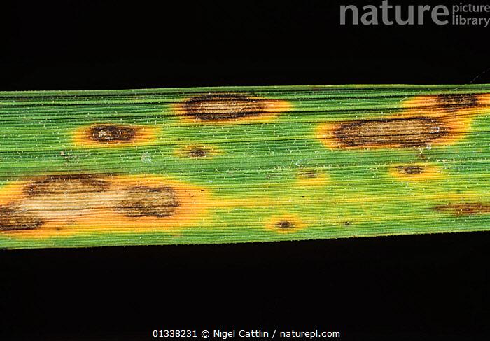 ciuperca helminthosporium oryzae