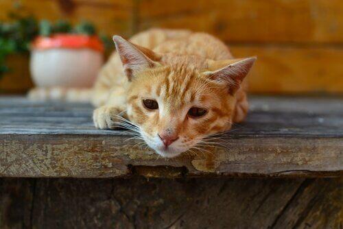 giardia katt symtom)