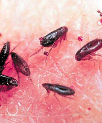 paraziti de pat)