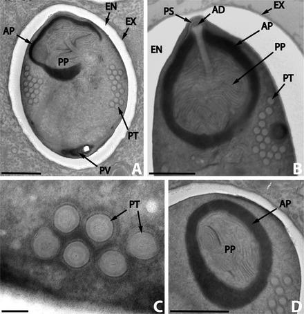 Biocontrolul agentilor fitopatogeni-selectia unor suse fungice cu actiune antifungica