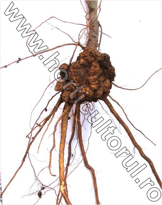 cancerul bacterian la prun