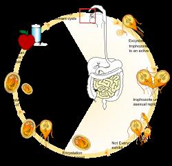toxiner i tarmen