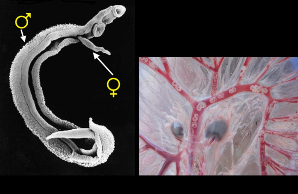 boli umane cauzate de viermi