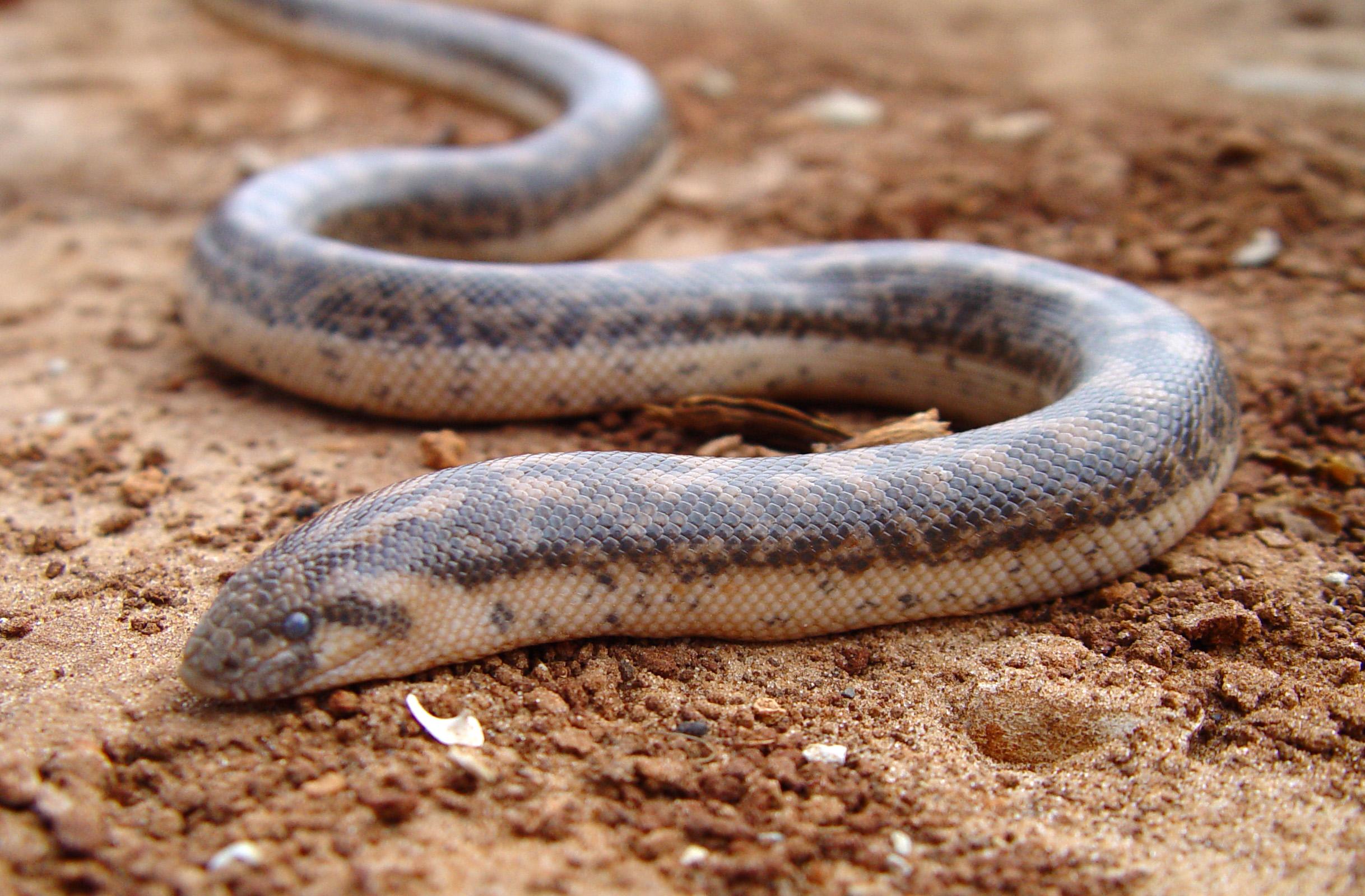 șarpe de tenă