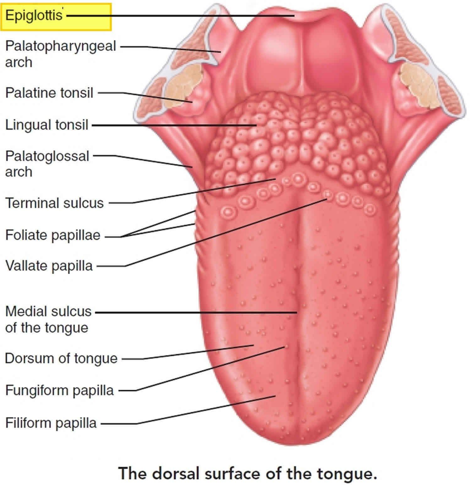 tongue papillae)