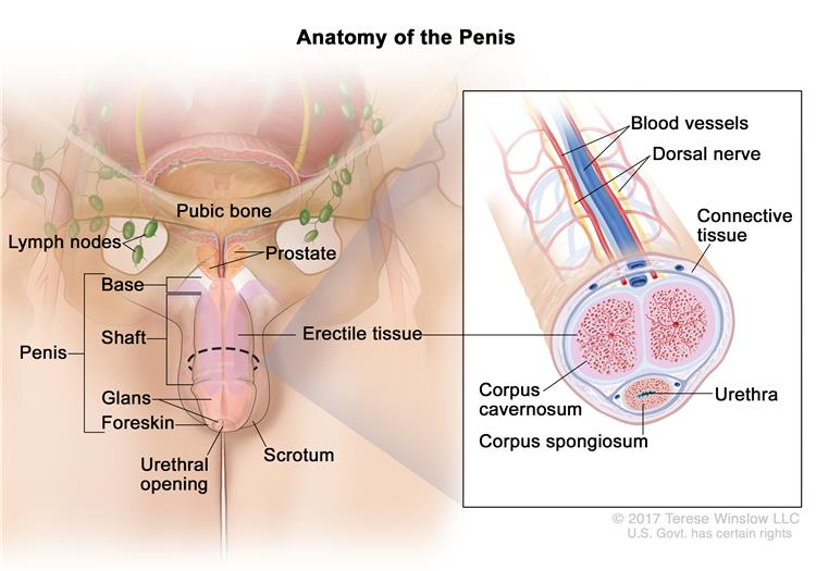 does hpv cause penile cancer