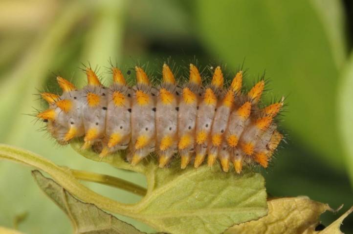larve rotunde