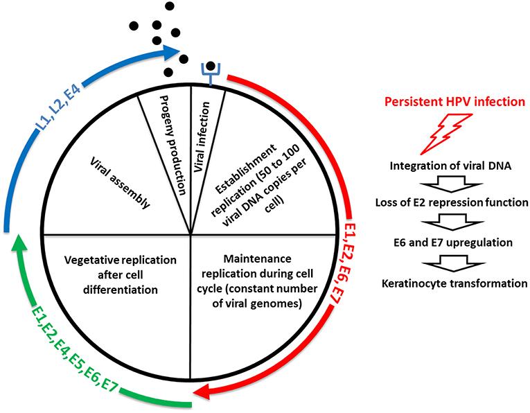 human papillomavirus biology and pathogenesis paraziți fungici în tratamentul corpului uman