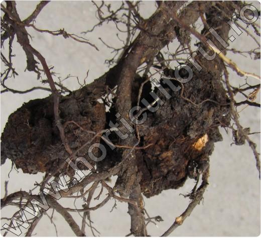 Cancerul bacterian la prun. Informații generale despre focul bacterian la pomii fructiferi