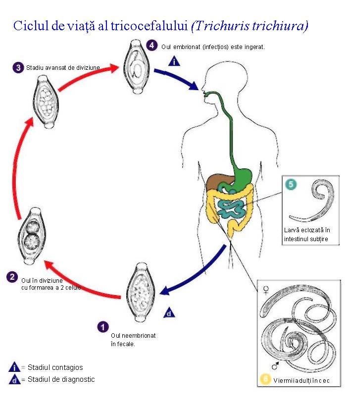 ciclul de viață al helminților)