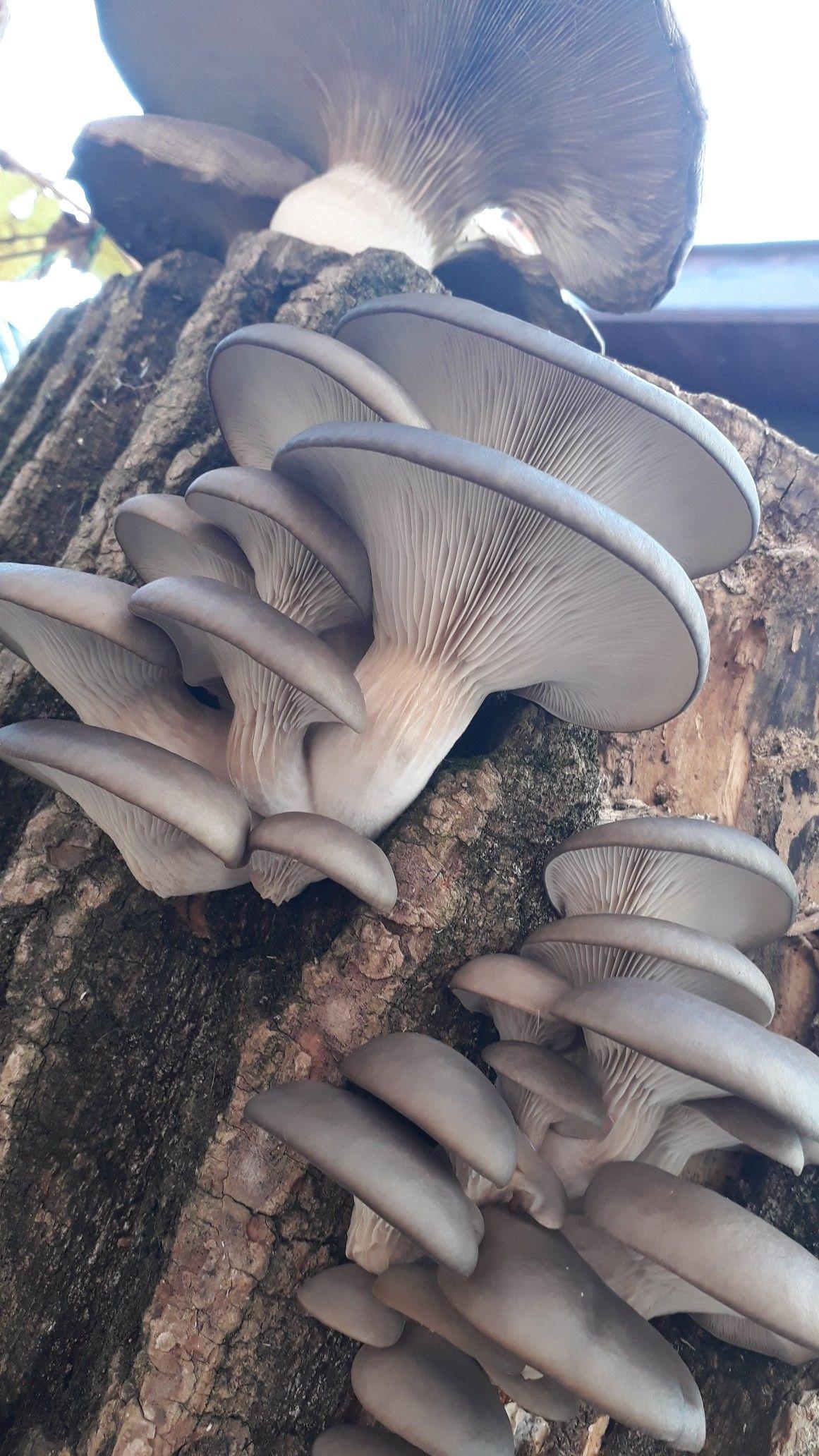 Plopul și ciupercile sale   Ciupercomania, totul, cu si despre ciuperci