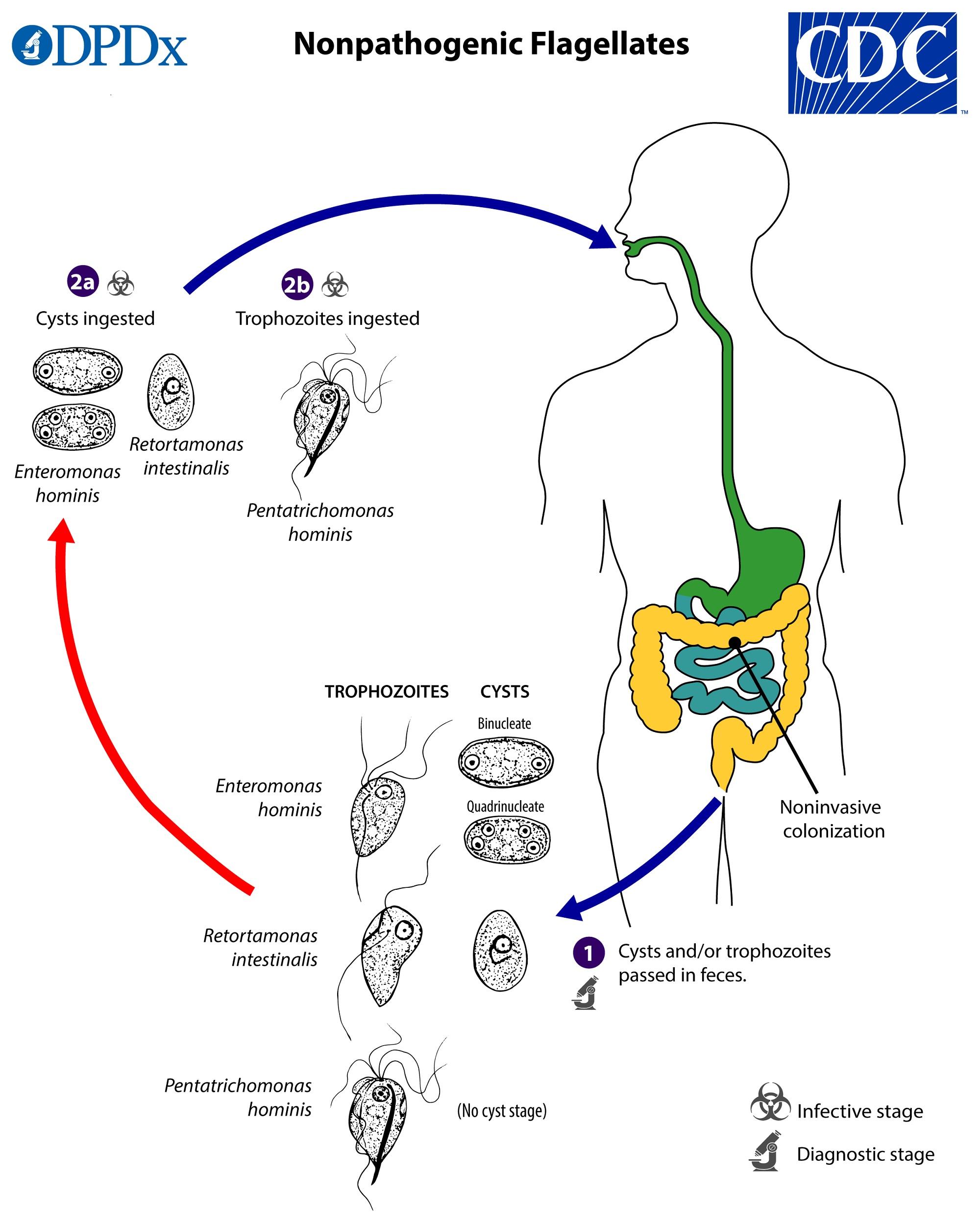tratamentul parazitului limfatic