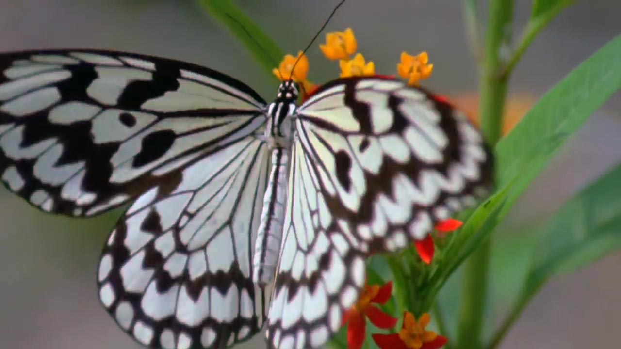 ciclul de viață al fluturilor și lanțurilor enterobiasis jelentese