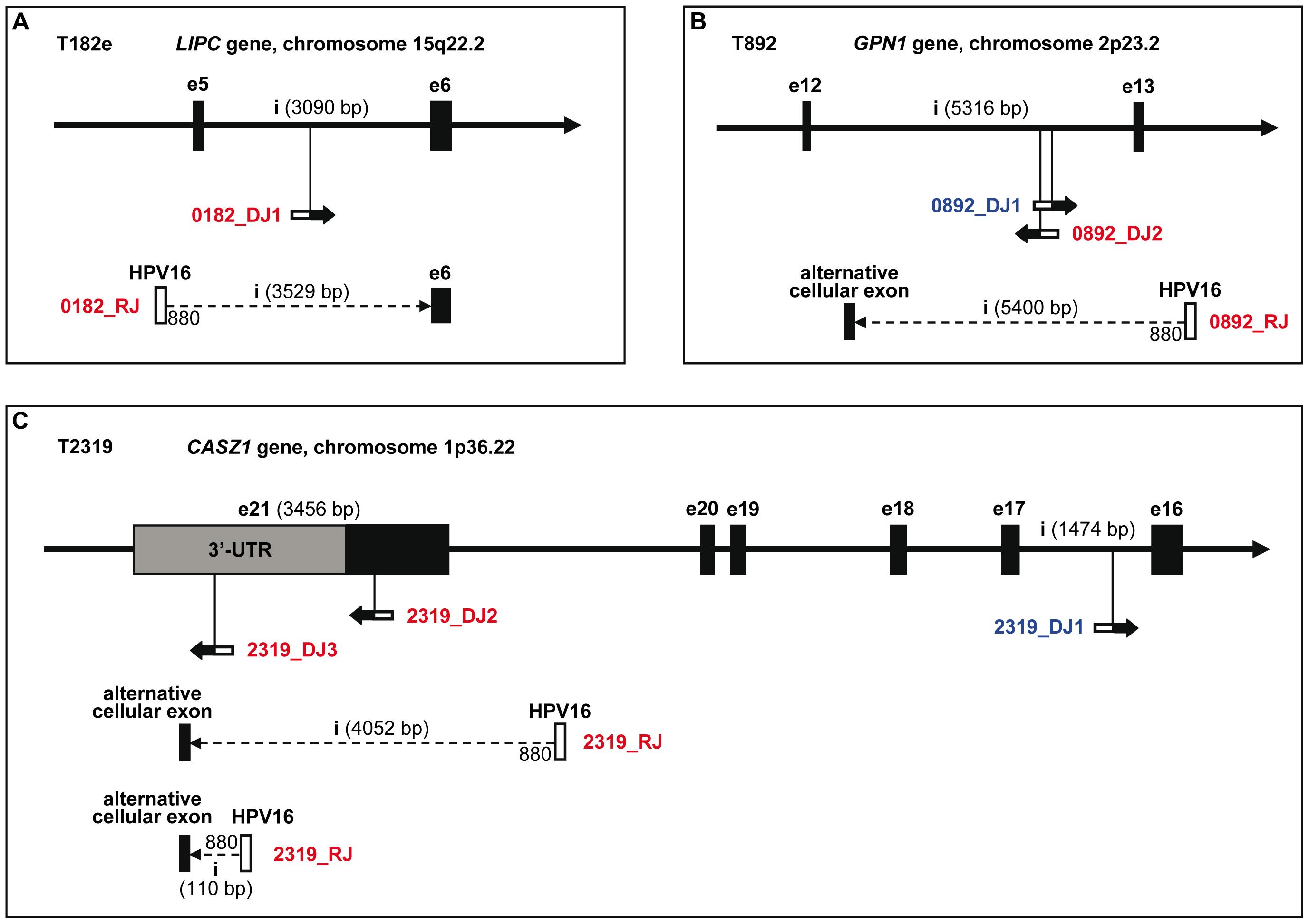 detection of human papillomavirus type 16 integration
