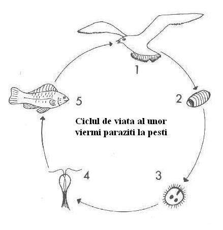 ciclul de dezvoltare a viermilor pe scurt