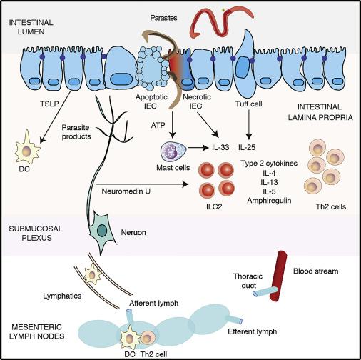 helminth- induced immunity